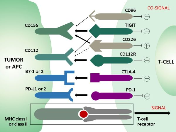 T-cell_co-signaling_receptors_and_ligands