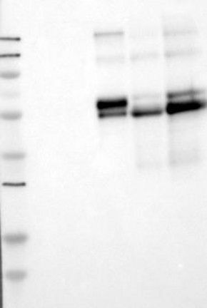 Antikörper Anti-C2 (Hu) aus Maus (Klon: 5C3) - unkonj. BF