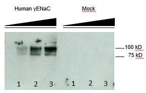 Antikörper Anti-Gamma-ENaC (Hu) aus Maus (Klon: 3C7) - unkonj. BF