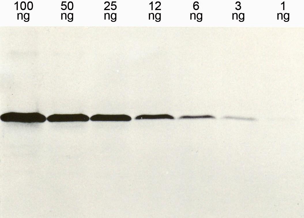 Anti-His-Tag Antikörper Klon 13/45/31 - Western Blot