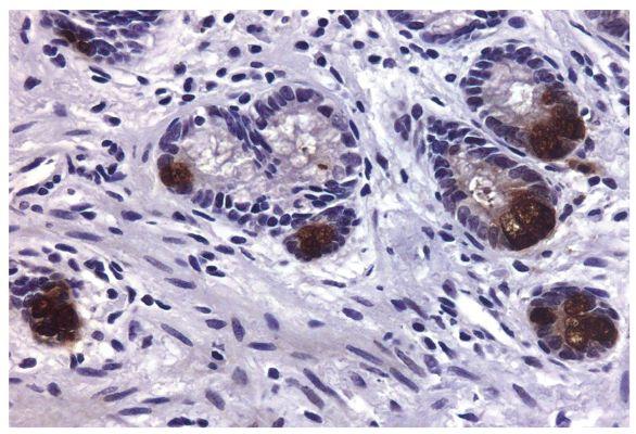 Abbildung: Ziege IgG anti-Maus IgG2a (Fc)-Biotin, MinX Hu