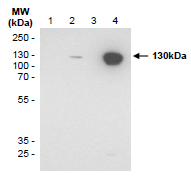 Western blot detection (WB) with anti-CD31 (PECAM-1) Antibody (clone SZ31) - dianova