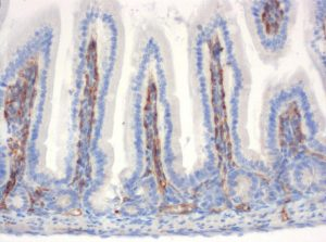 The monoclonal antibody clone SZ31 (DIA-310) reacts specifically with endothelial cells in vessels and capillaries of small intestine from mice (FFPE tissue). Der monoklonale Antikörper Klon SZ31 (DIA-310) reagiert spezifisch mit Endothelzellen in Gefäßen und Kapillaren des Dünndarm aus der Maus (FFPE Gewebe).