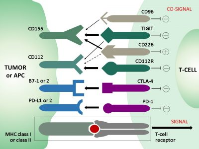 TIGIT involved in T-cell co-signaling