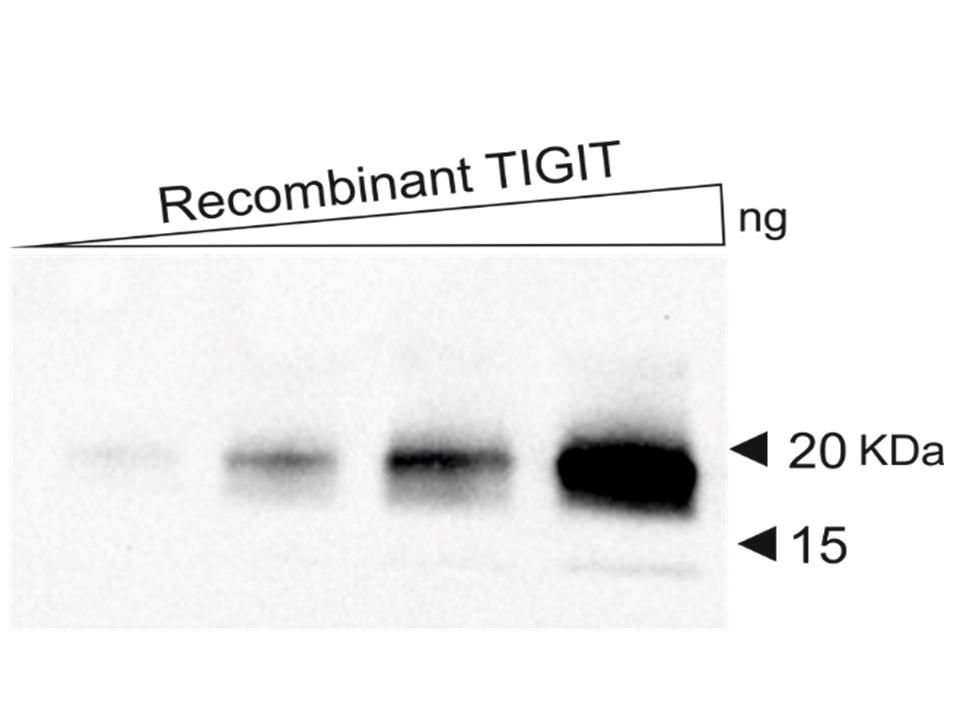 Dia-TG1 Anti-TIGIT Western Blot (human recombinant)