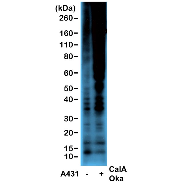 Western blot detection (WB) with anti-Phosphothreonine Antibody (clone RM102) - RevMAb Biosciences