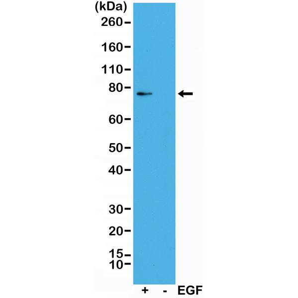 Western blot detection (WB) with anti-Phospho-Rsk1 (Thr359/Ser363) Antibody (clone RM233) - RevMAb Biosciences