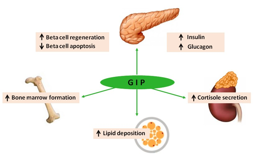 Effects of GIP