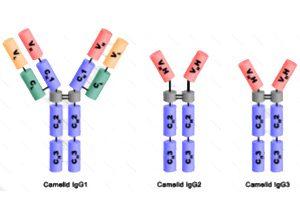 Scheme of IgG-subtypes