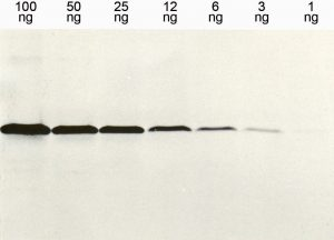 Western blot detection (WB) with anti-HIS Epitope-Tag Antibody (clone 13/45/31) -dianova