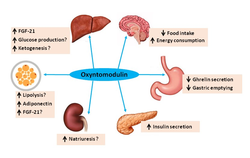 Effects of oxyntomodulin