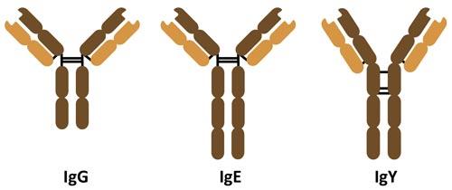 Immunglobuline G, E und Y