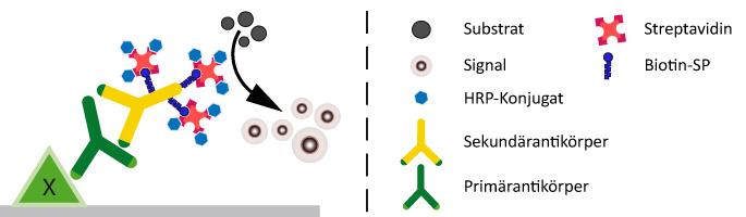 Biotin-konjugierte Sekundärantikörper