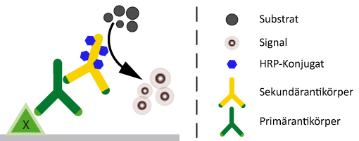 HRP-konjugierte Sekundärantikörper