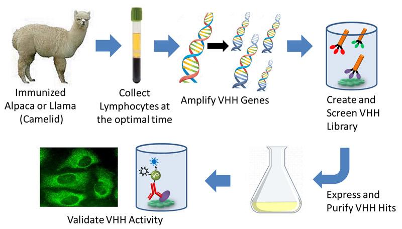 Entwicklung rekombinanter VHH-Antikörper