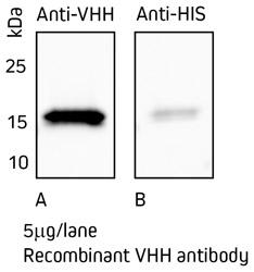 Anti-VHH Sekundärantikörper im Western Blot.
