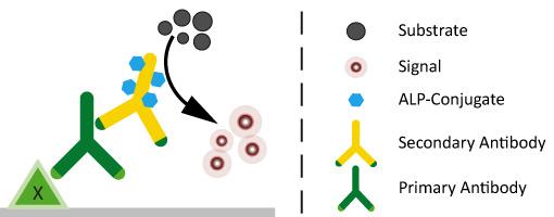 ALP-conjugated secondary antibodies