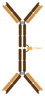 Antikörperstruktur IgA