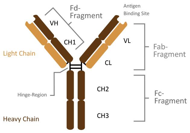 Antikörperstruktur IgG